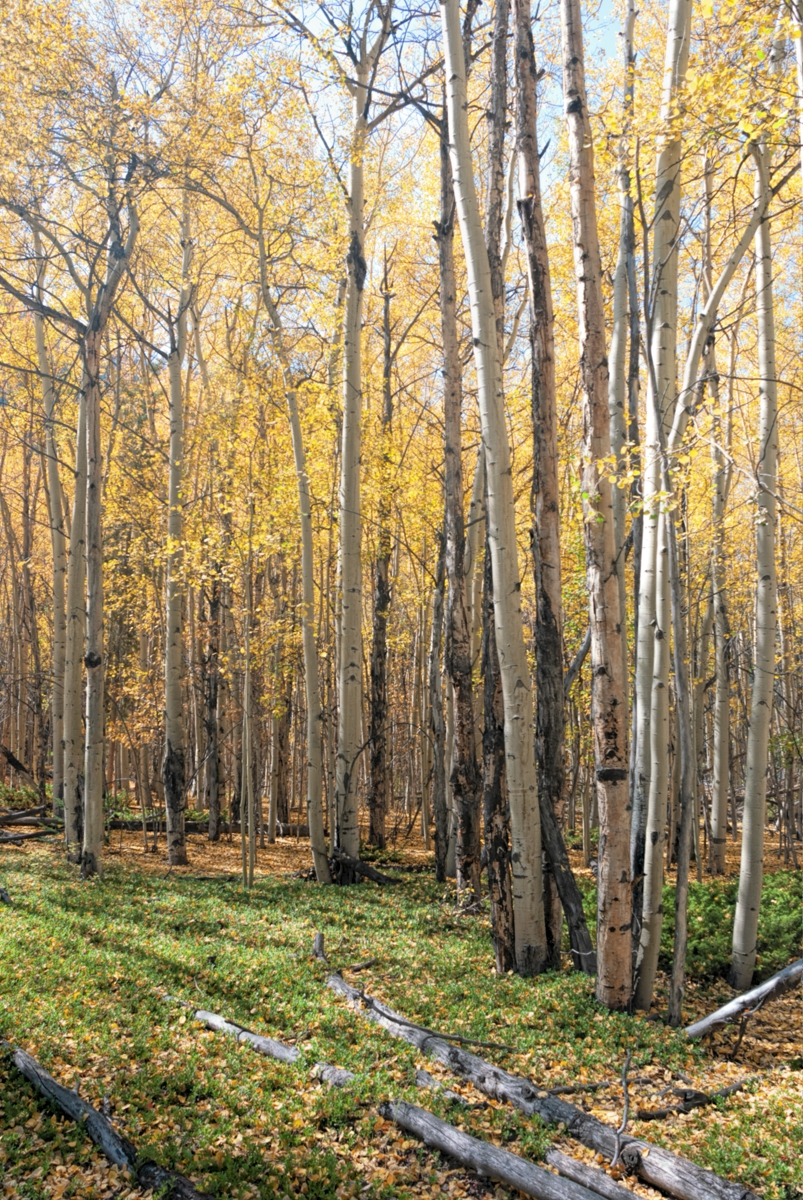 fall, colors, trees, leaves, forrest, colorado, georgetown, photo